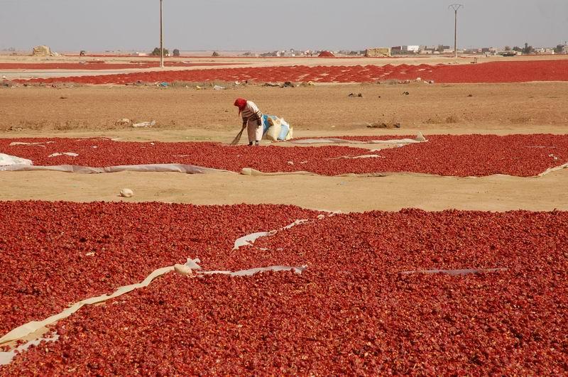 מרוקו - ייבוש פלפלים