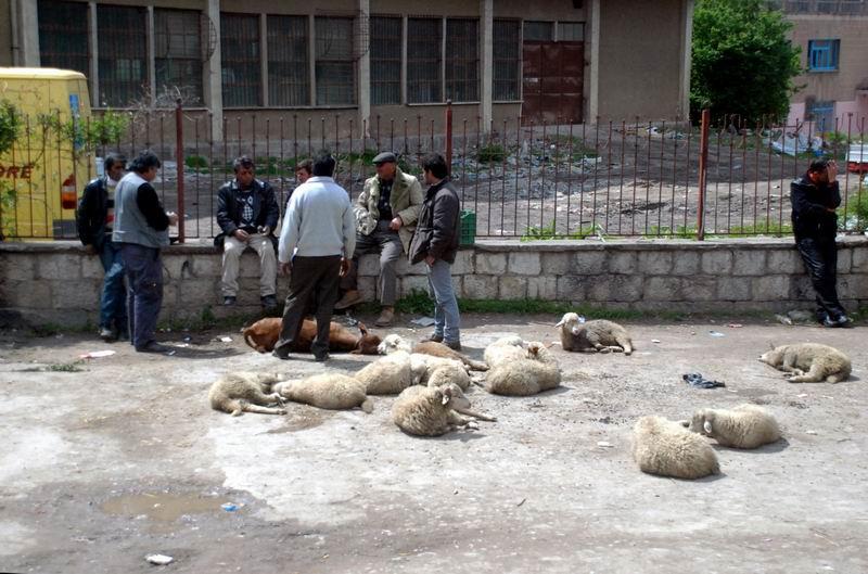 אלבניה - שוק הכבשים