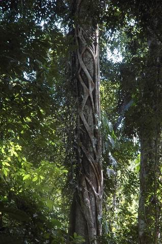 קוסטה-ריקה - גזע ביער הגשם