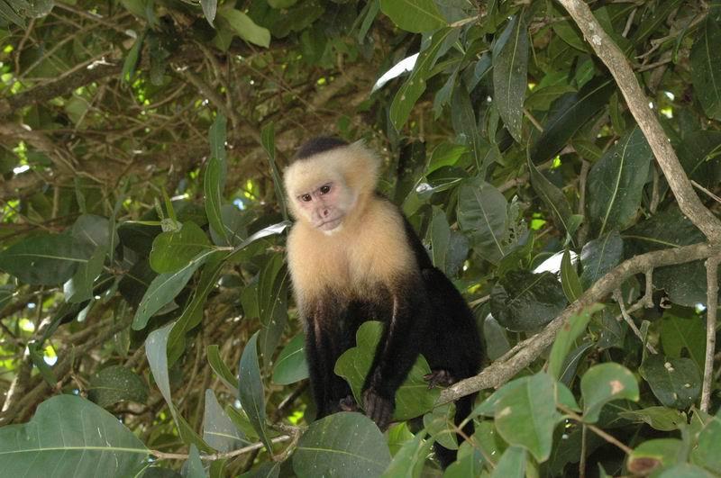 קוסטה-ריקה - קוף קפוצ'ין