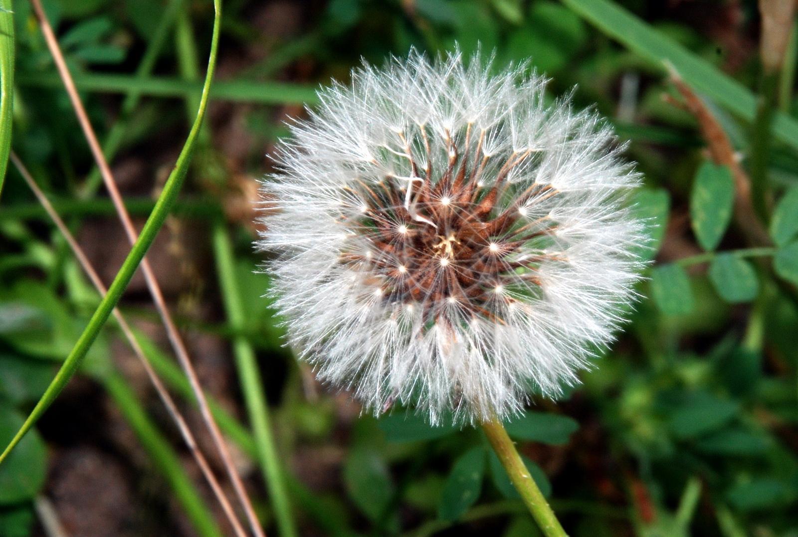 זקן הסב - ראש זרעים