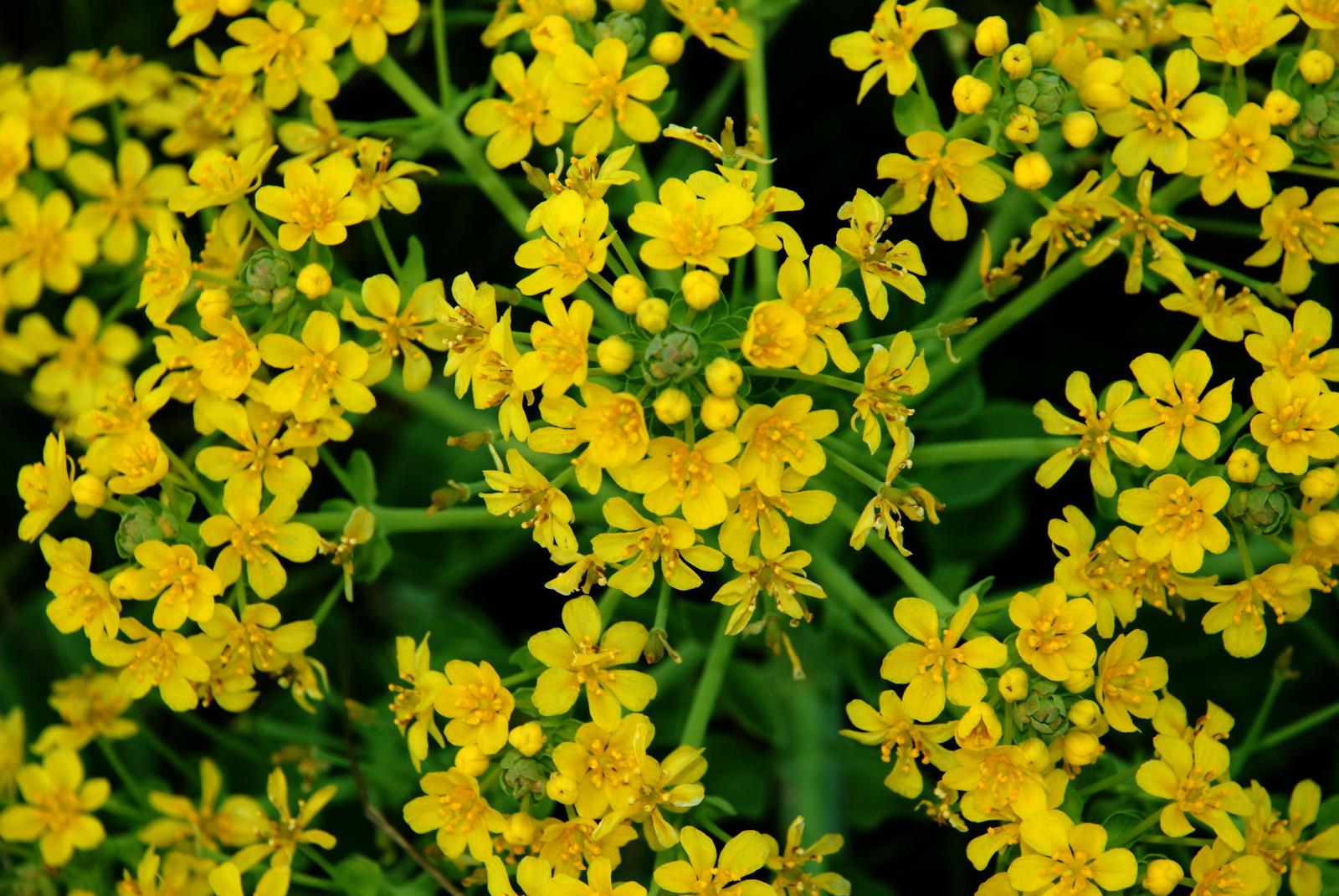 ערטנית השדות - פרח