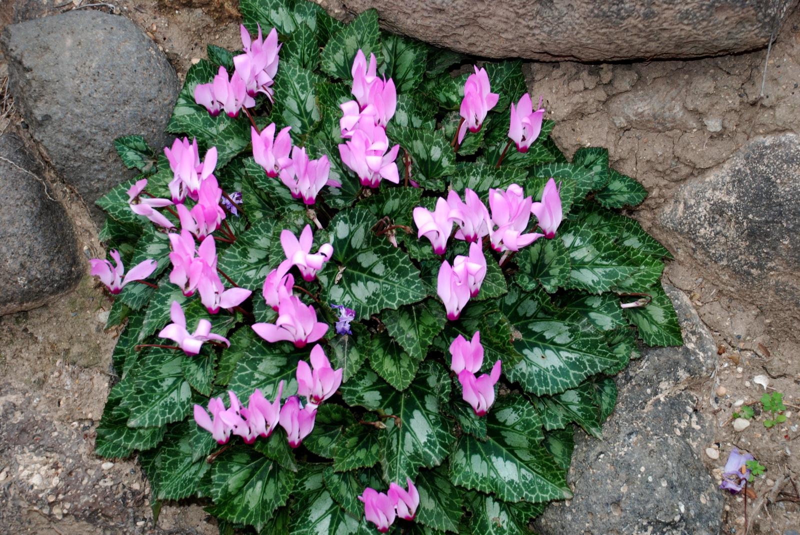רקפת - צרור פרחים