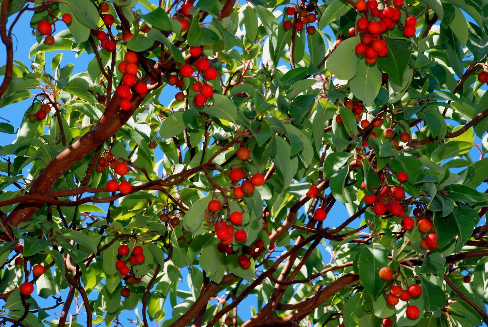 קטלב עץ עמוס פרי