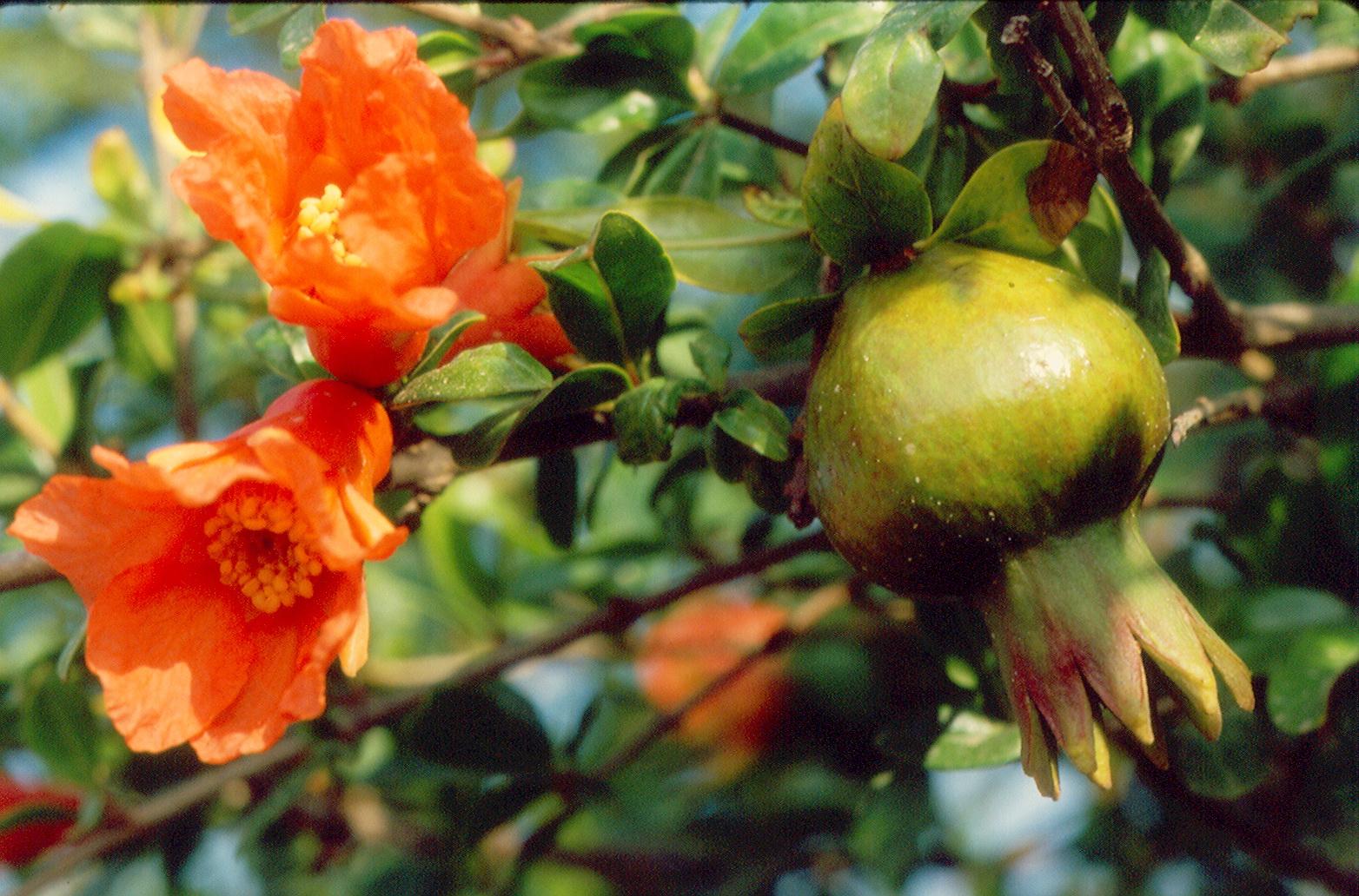 רימון - פרח ופרי