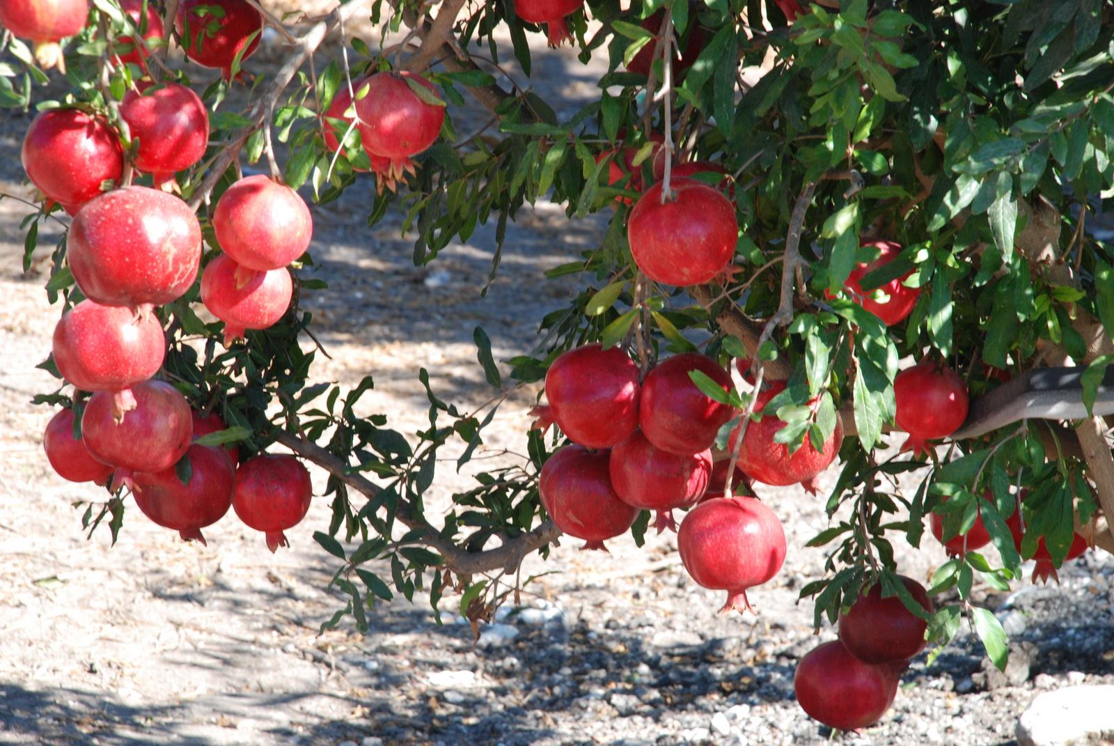 רימון - עץ עמוס פרי