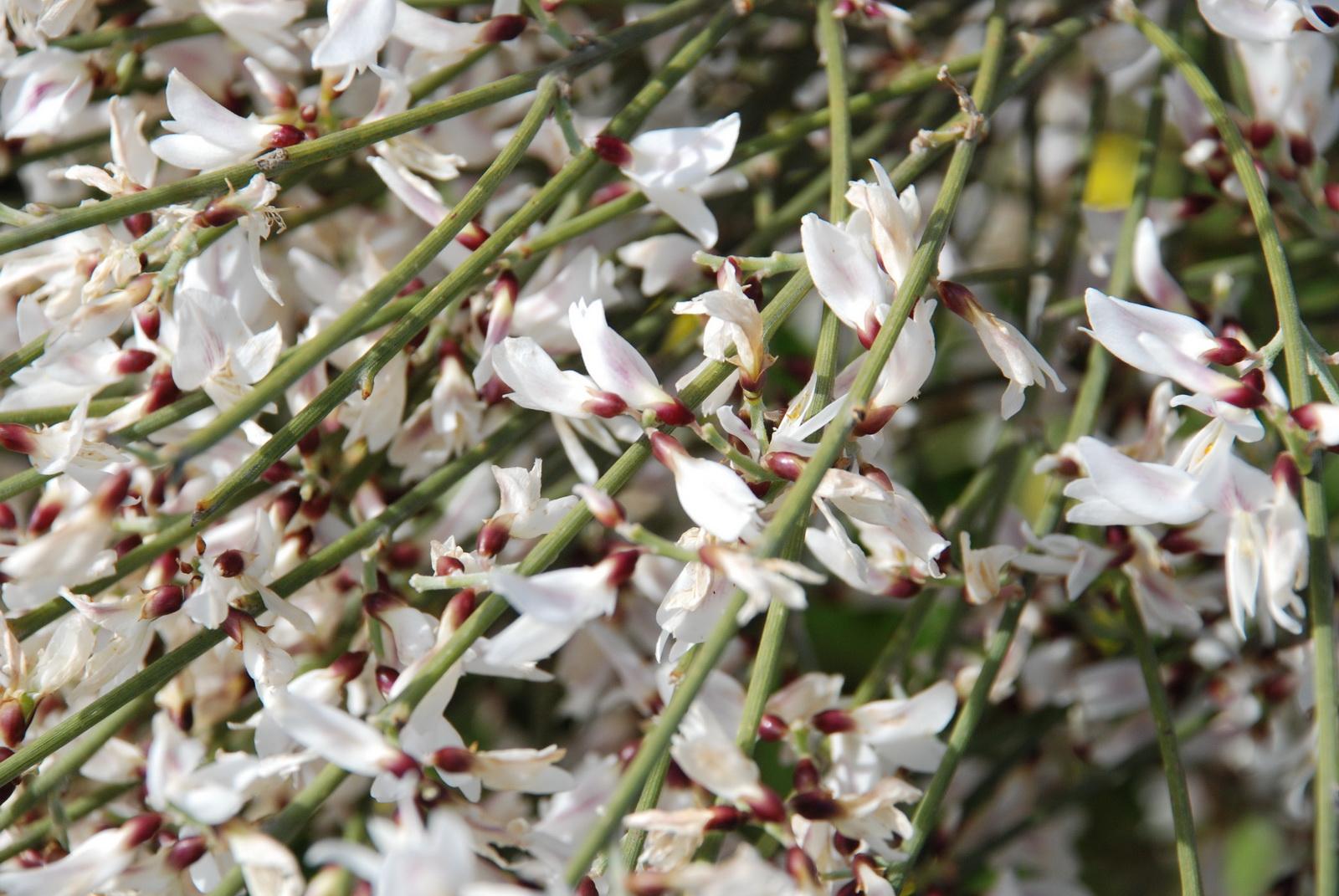 רותם - פרחים