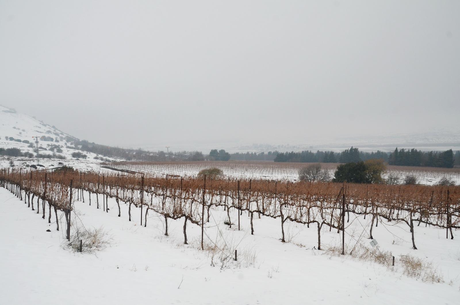 גולן - כרמים בשלג , למרגלות הר חרמונית