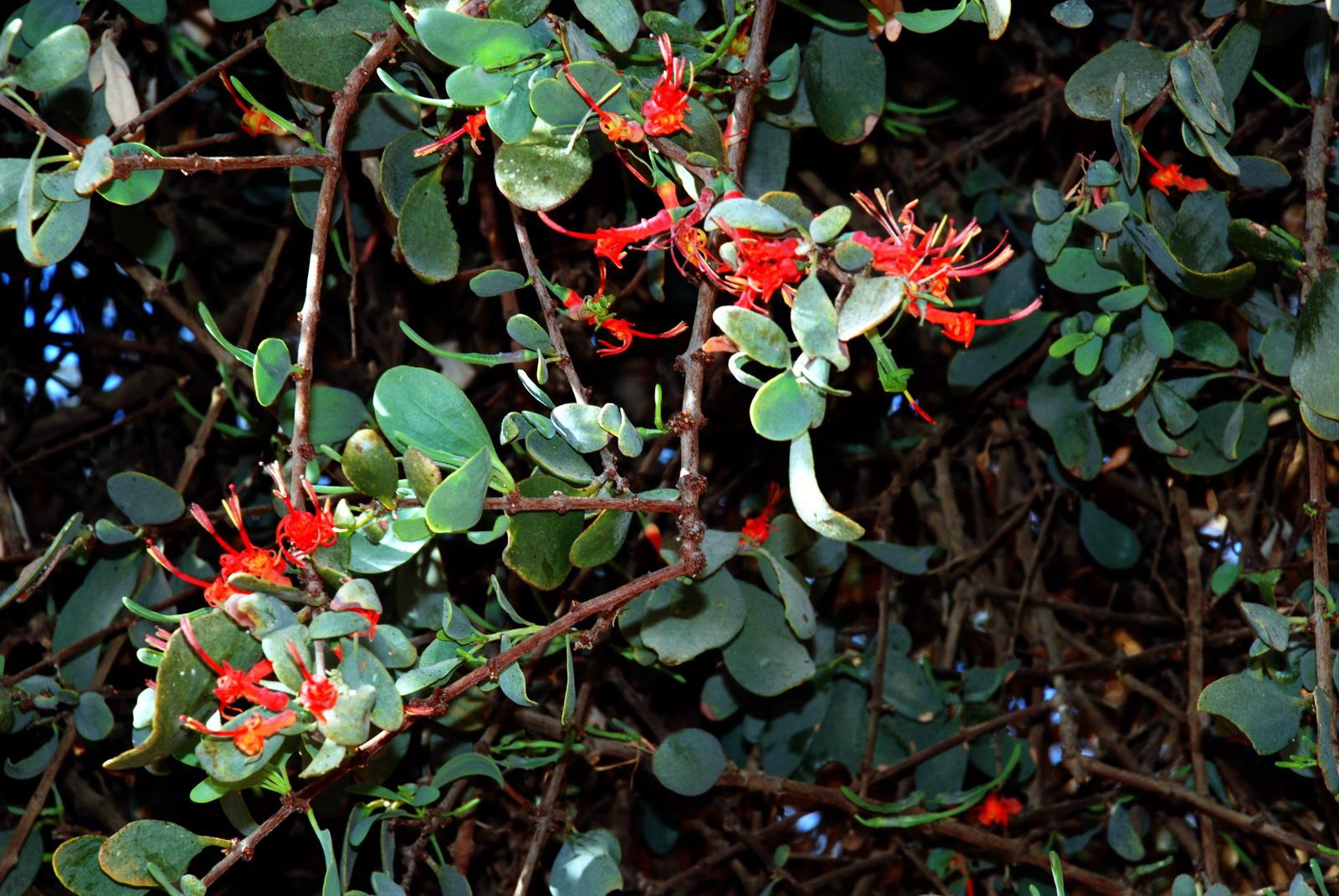 הרנוג השיטים - צמח טפיל החי על על עצי השיטים