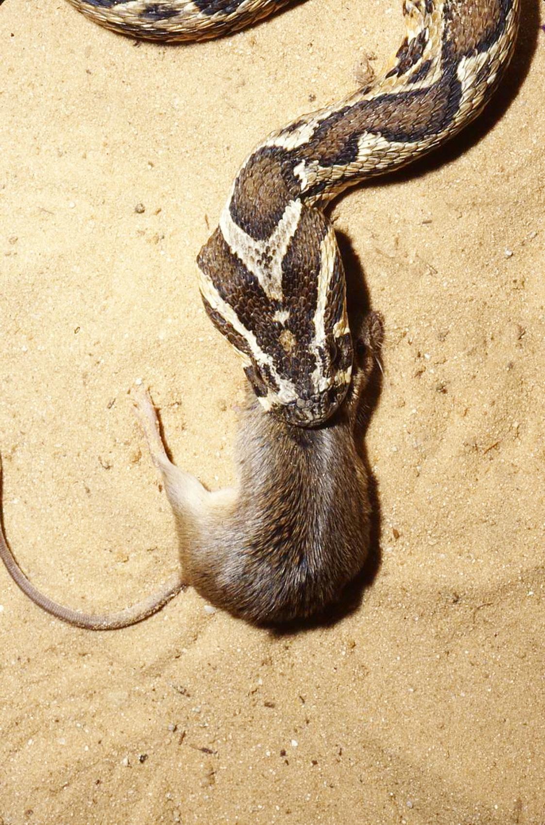 צפע בולע עכבר