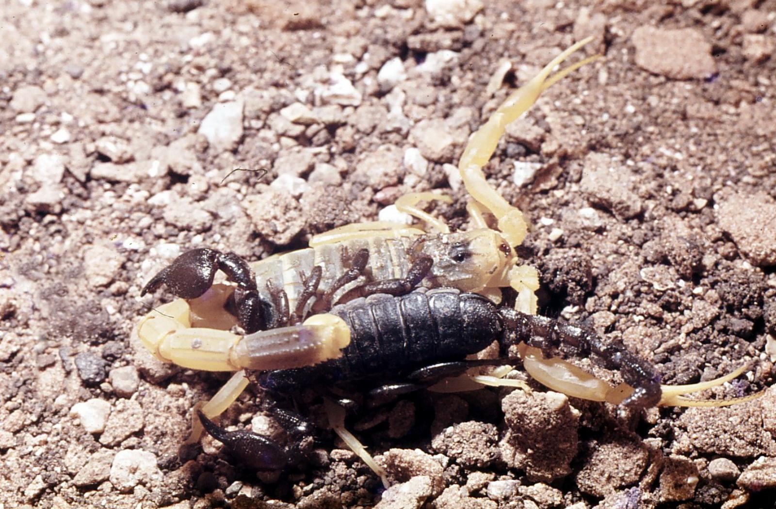 מפגש עקרבים צהב שחור - עקיצת הצהב