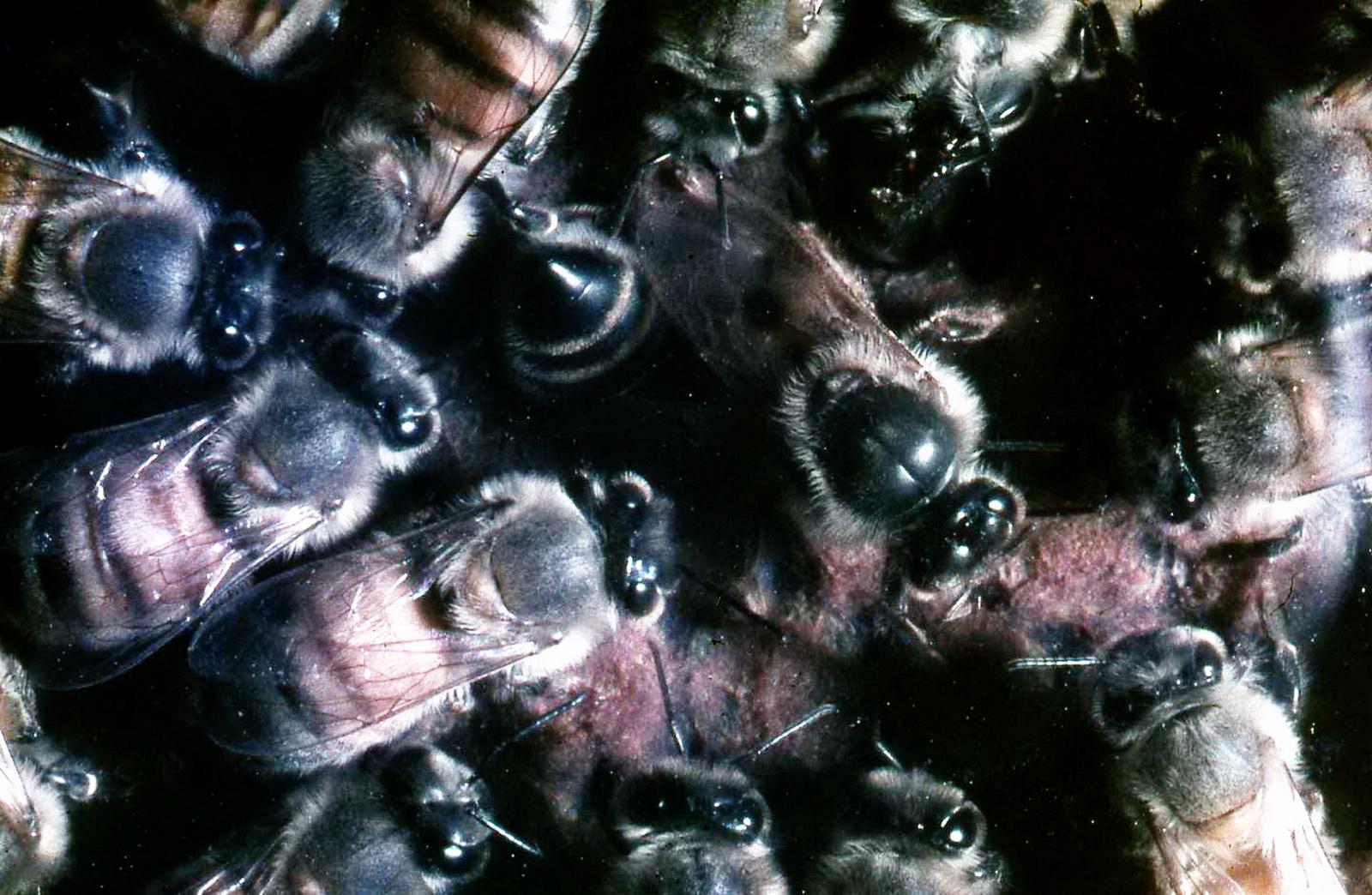 (דבורים מטפלות במלכה (במרכז