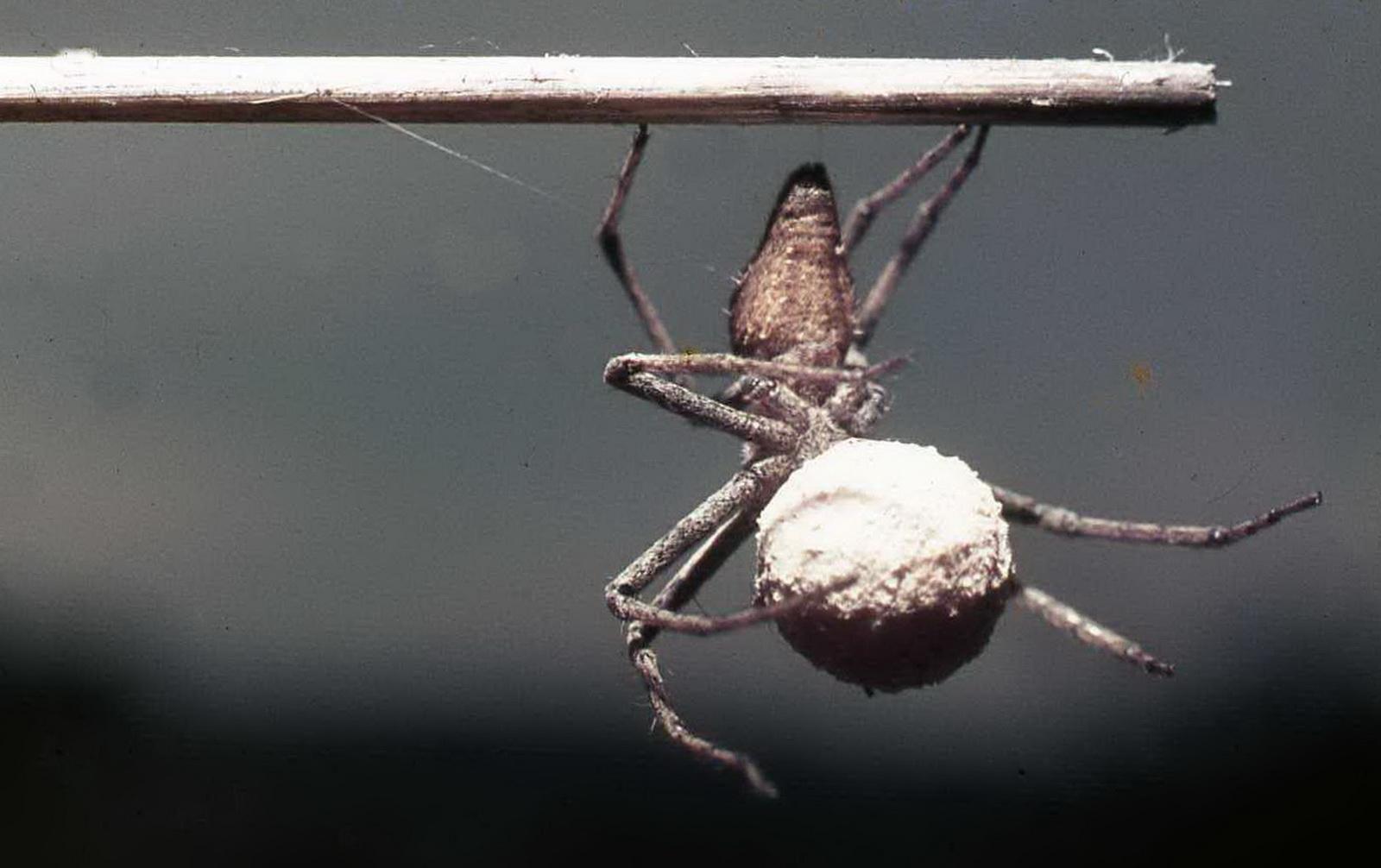 עכבישת זאב ופקעת ביציה בפיה, למשמרת