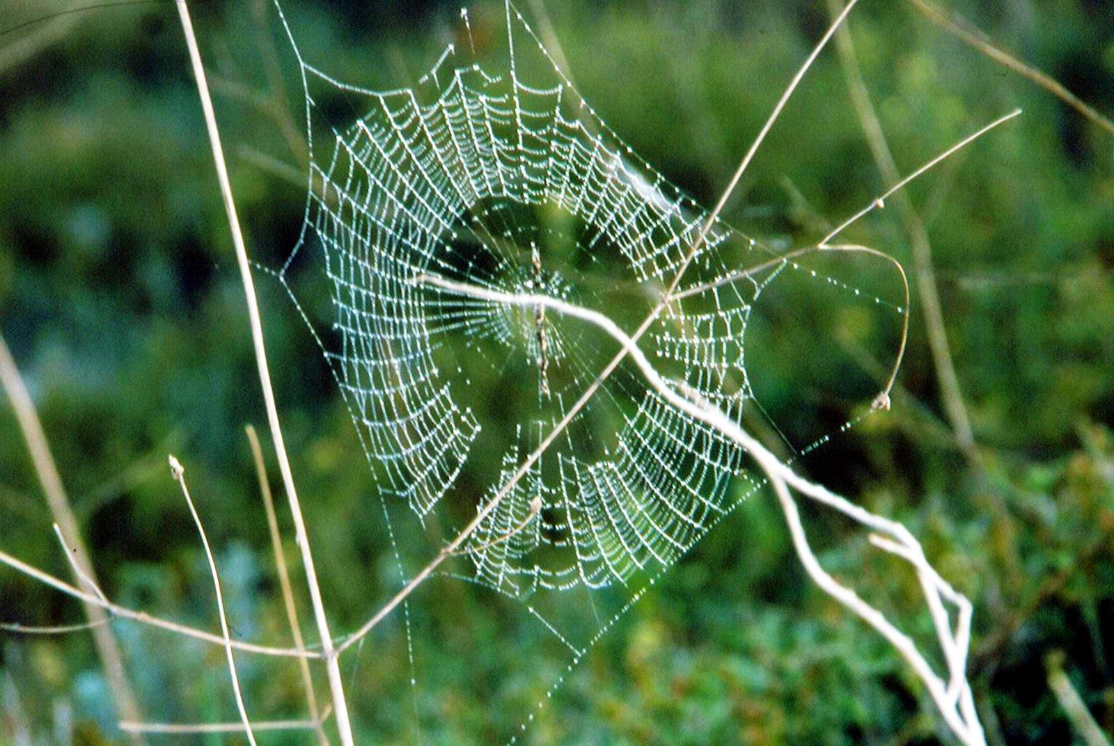 רשת קורי עכביש המעגל