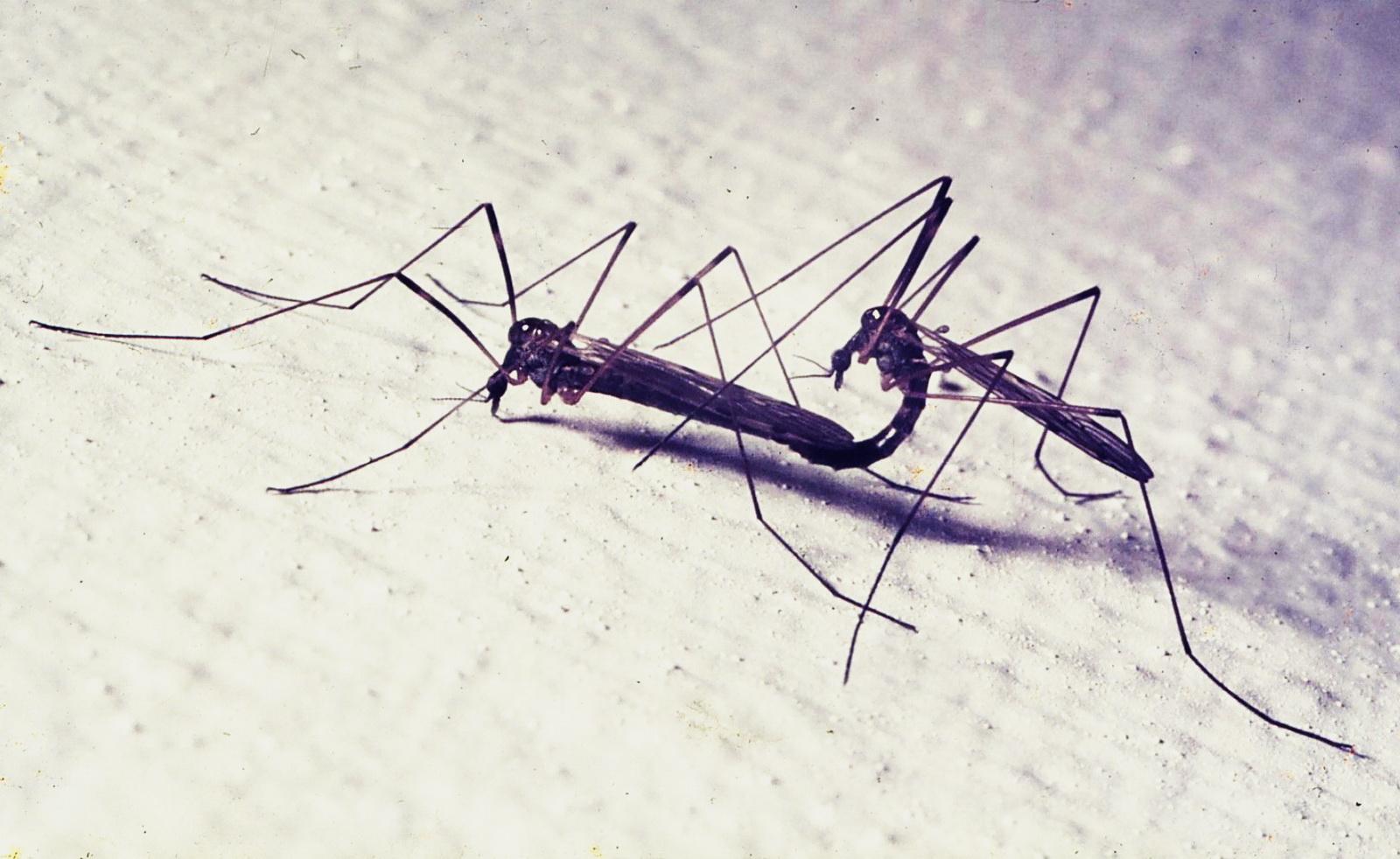 הזדווגות יתושים