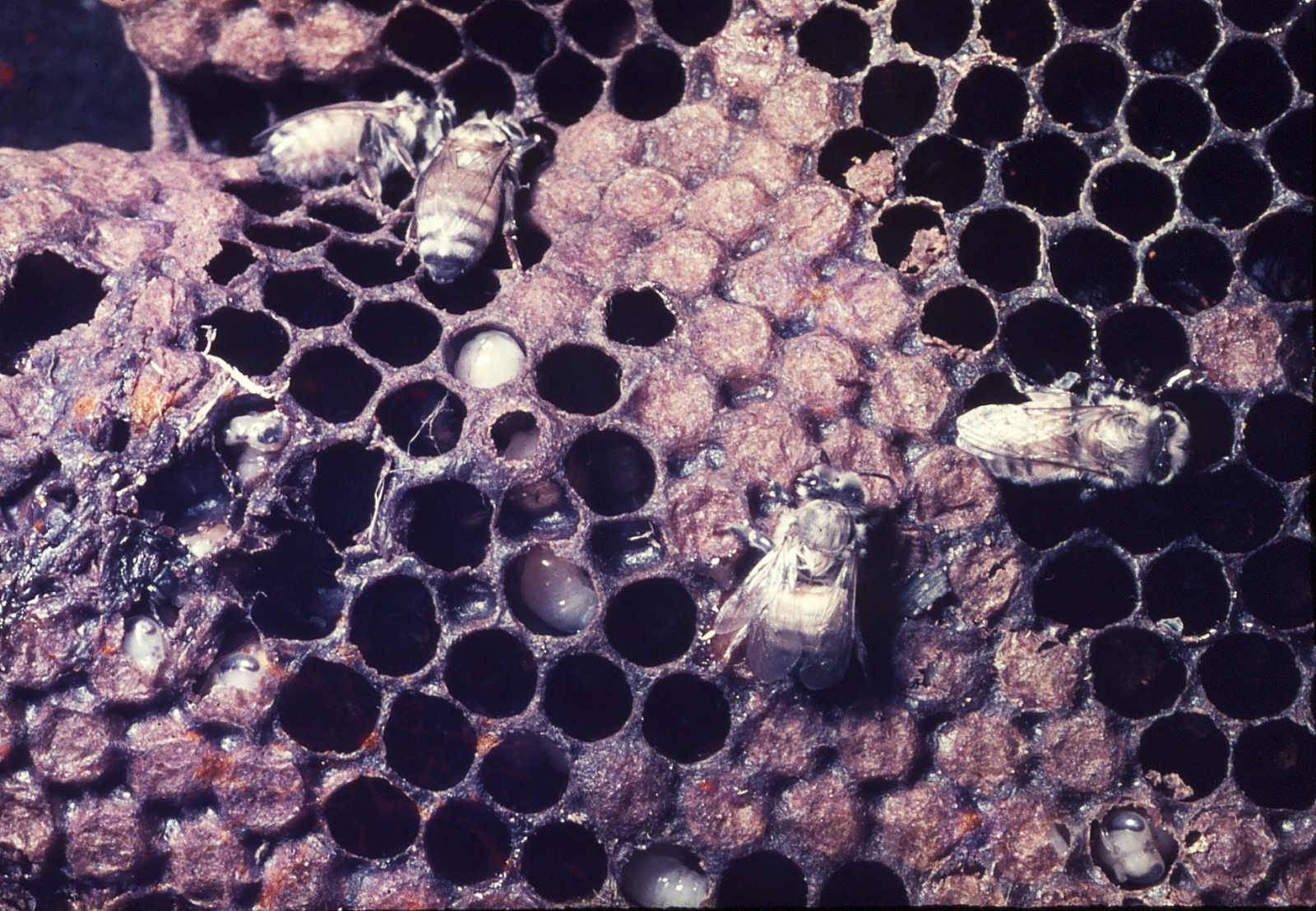חלה עם דבורים צעירות ורימות