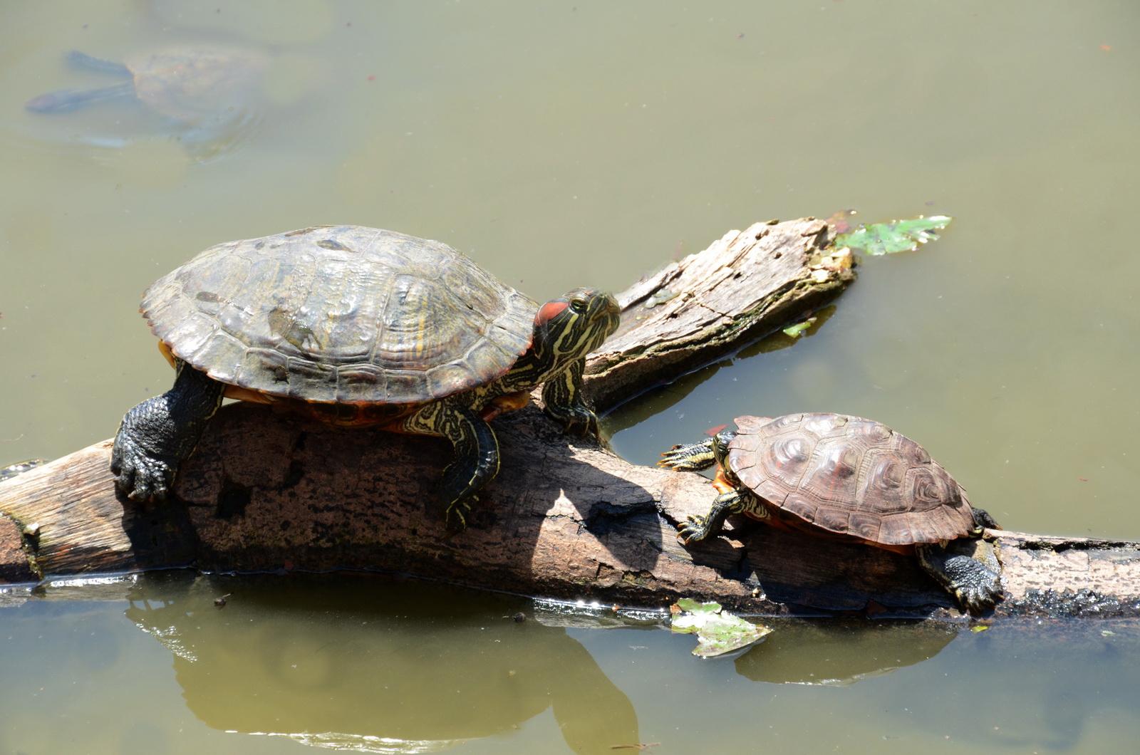 צבי מים תופסים שמש