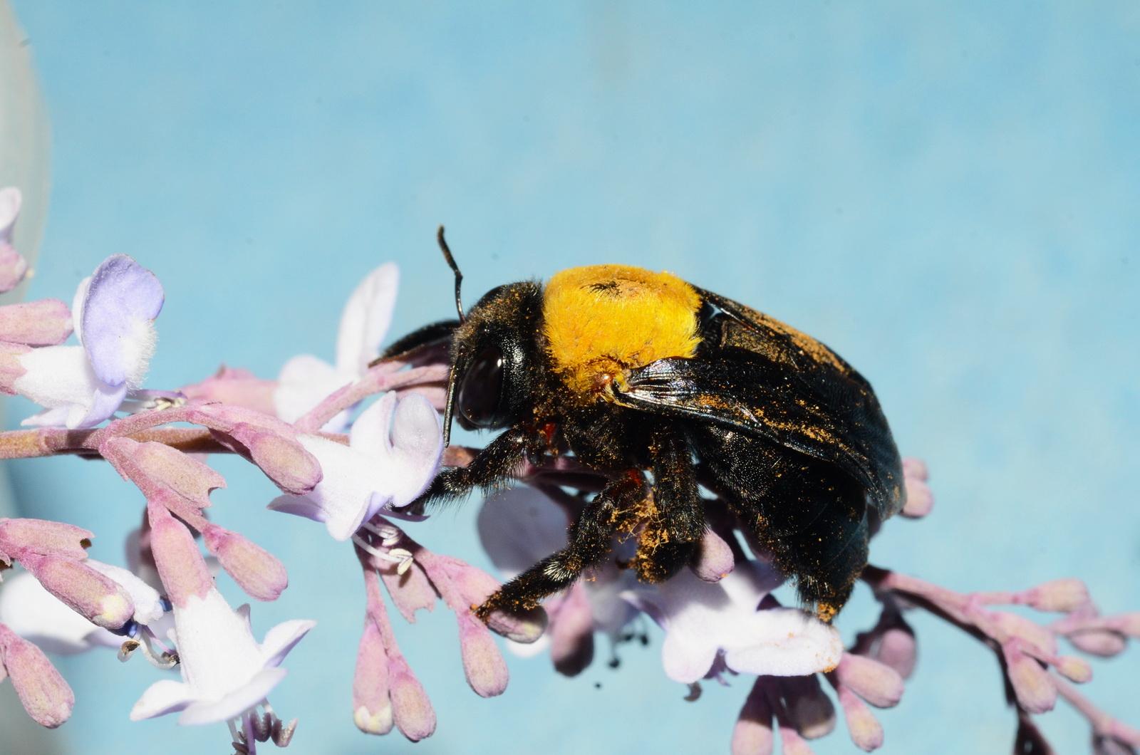 דבורת העץ הצהובה אוספת צוף פרחים
