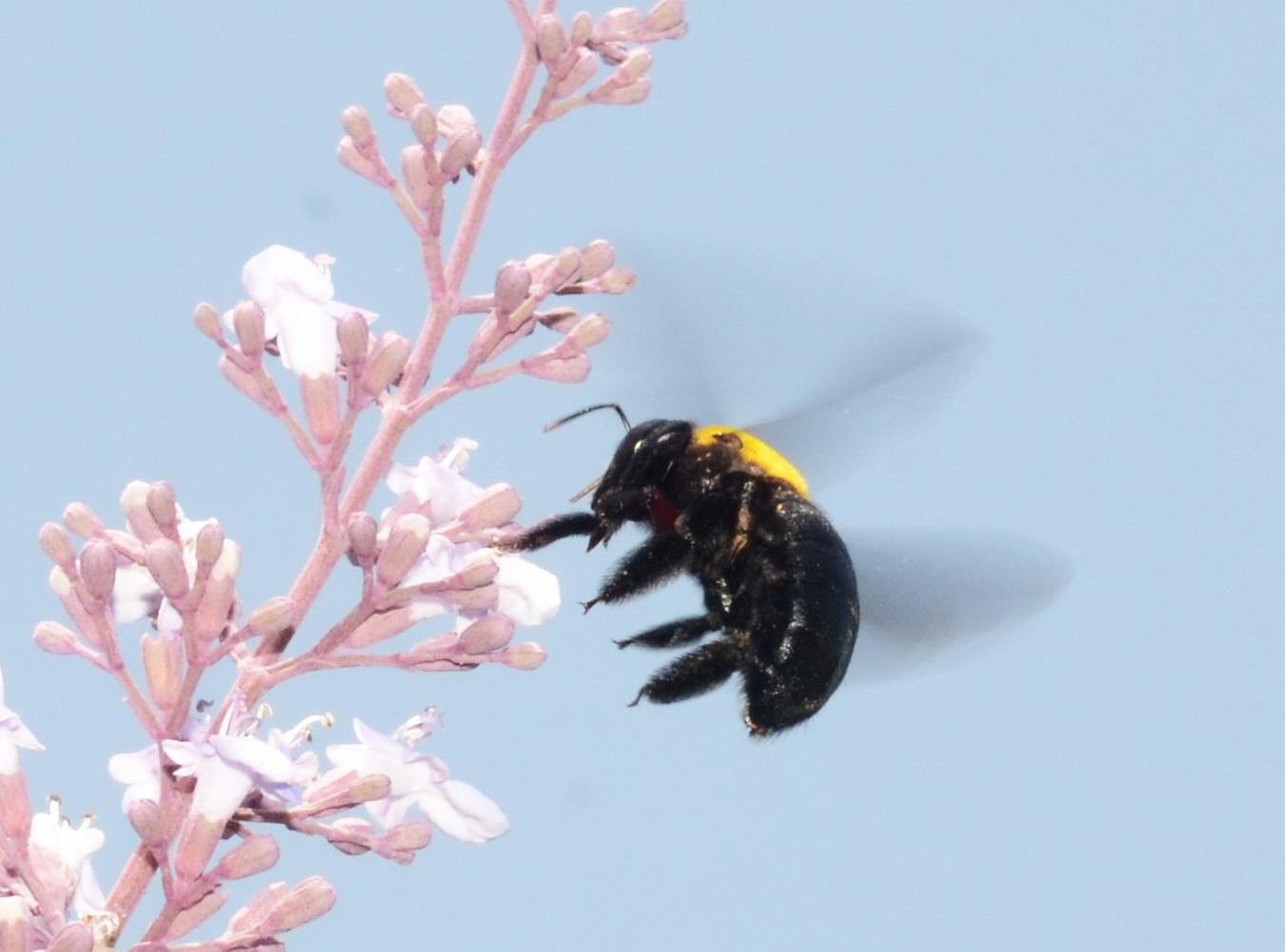 דבורת העץ הצהובה בתעופה