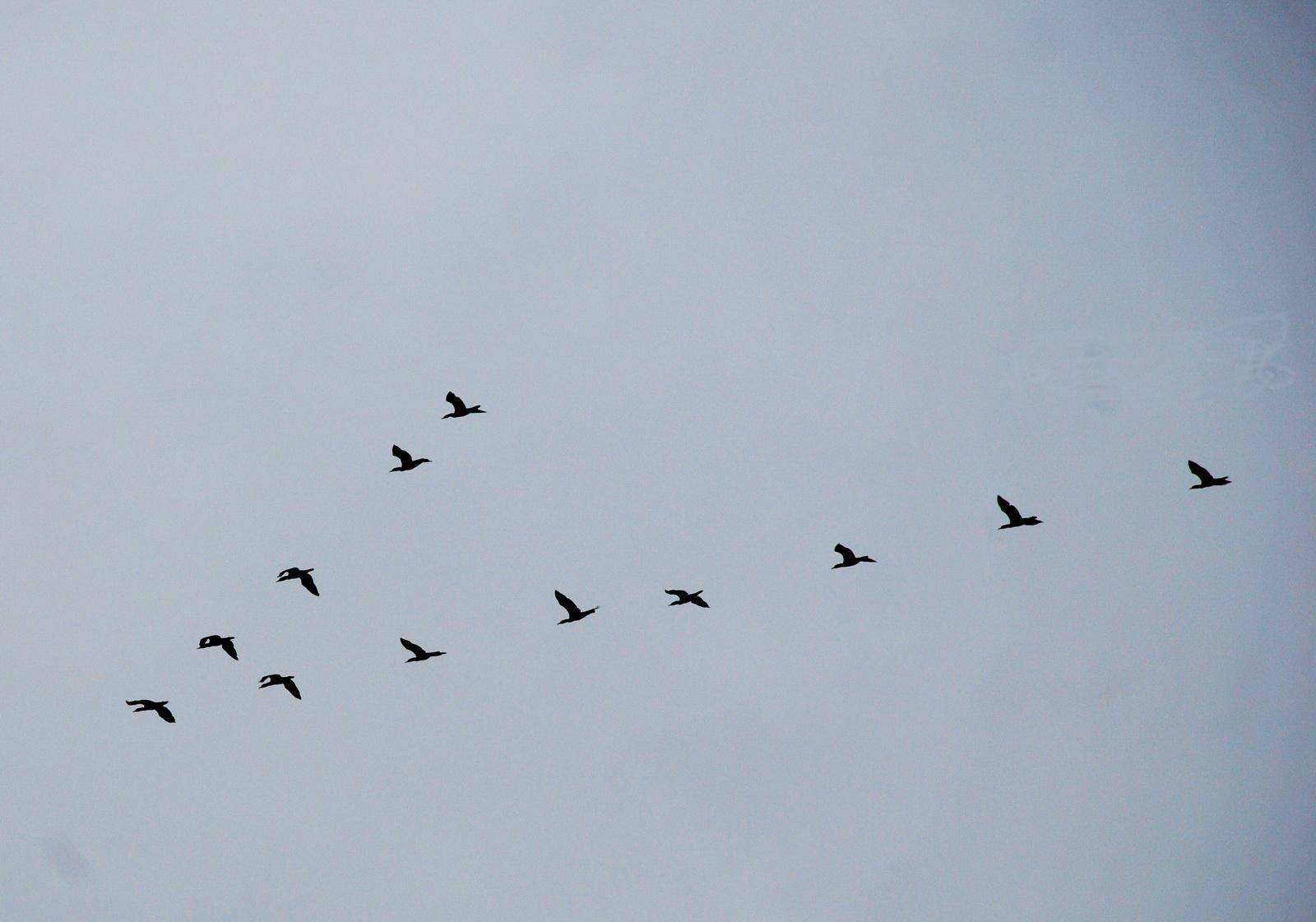 קורמורנים בתעופת ראש חץ