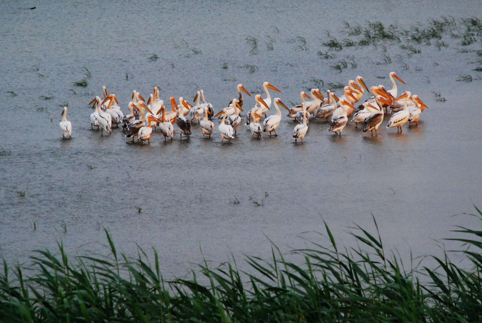 להקת שקנאים נערכת ללינה המקווה מים