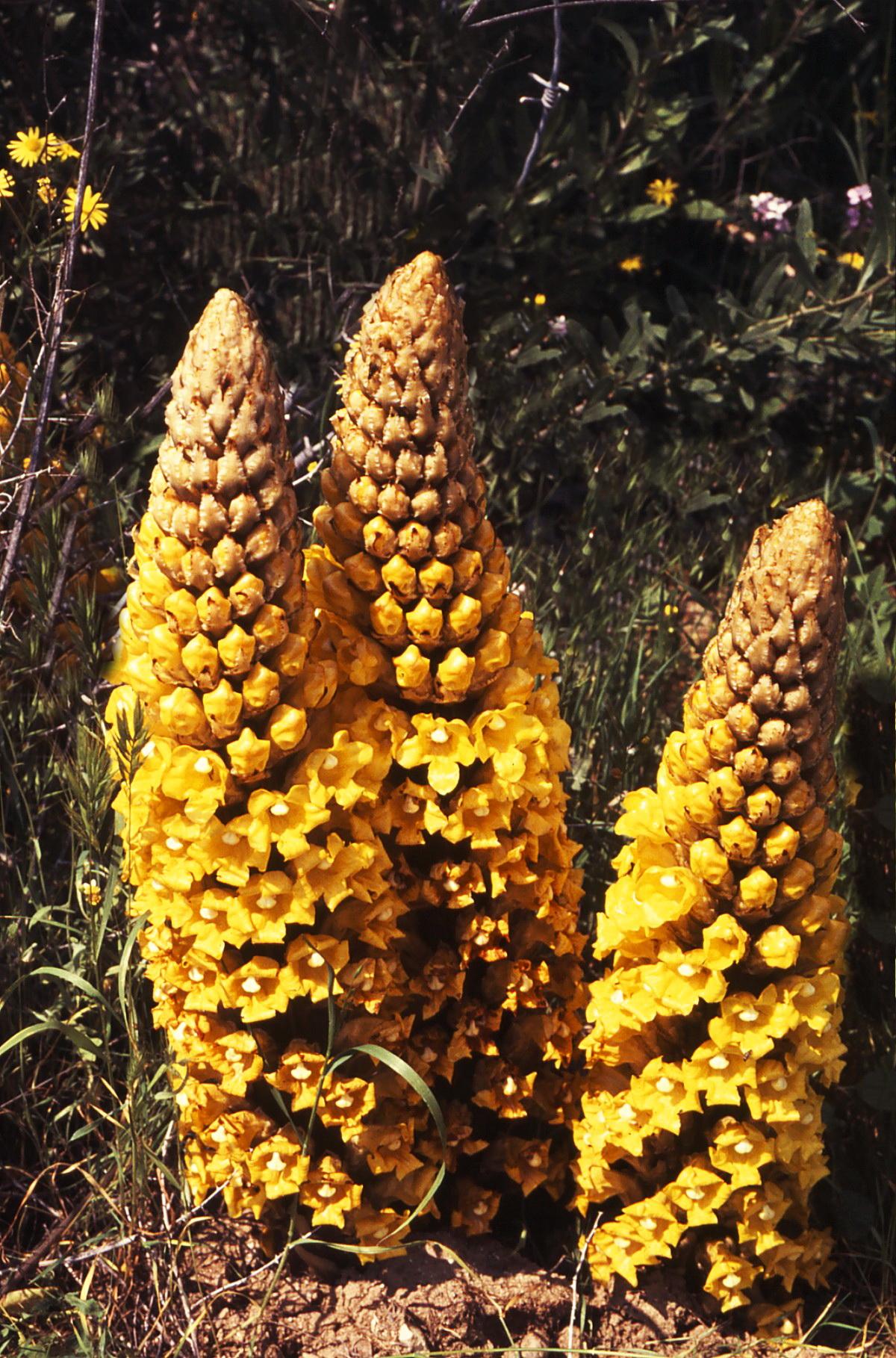 יחנוק המדבר - צמח טפיל יפהפה