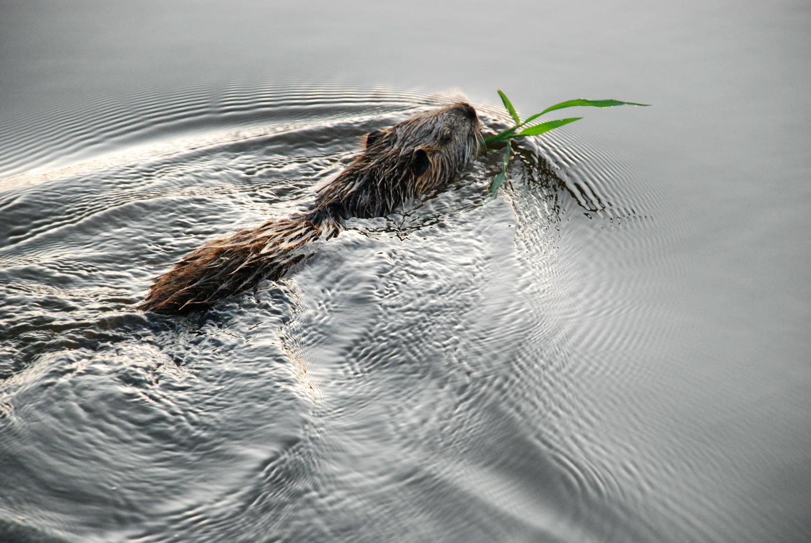נוטרייה בשחייה
