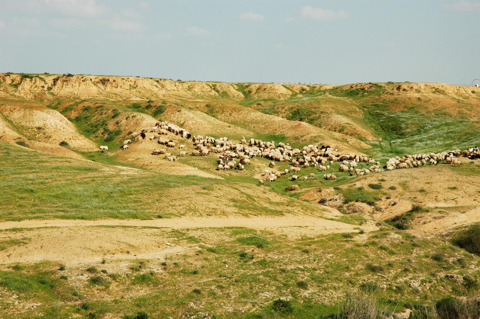 עדר כבשים במדבר יהודה