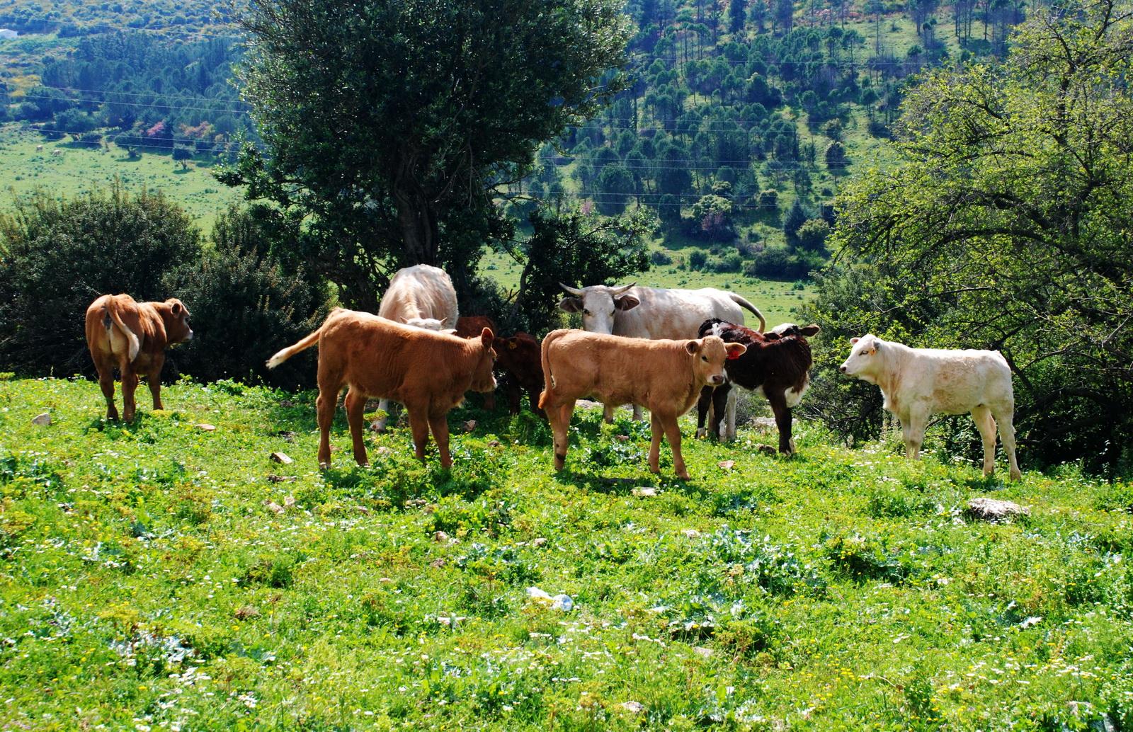 פרות ועגלים במרעה