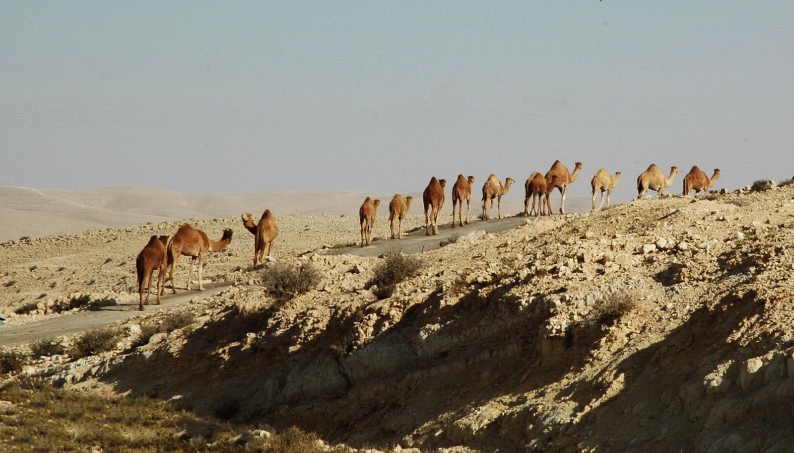 אורחת גמלים