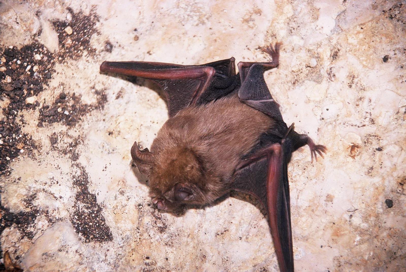 עטלף (פרספון?) כן, עטלף הוא יונק מעופף