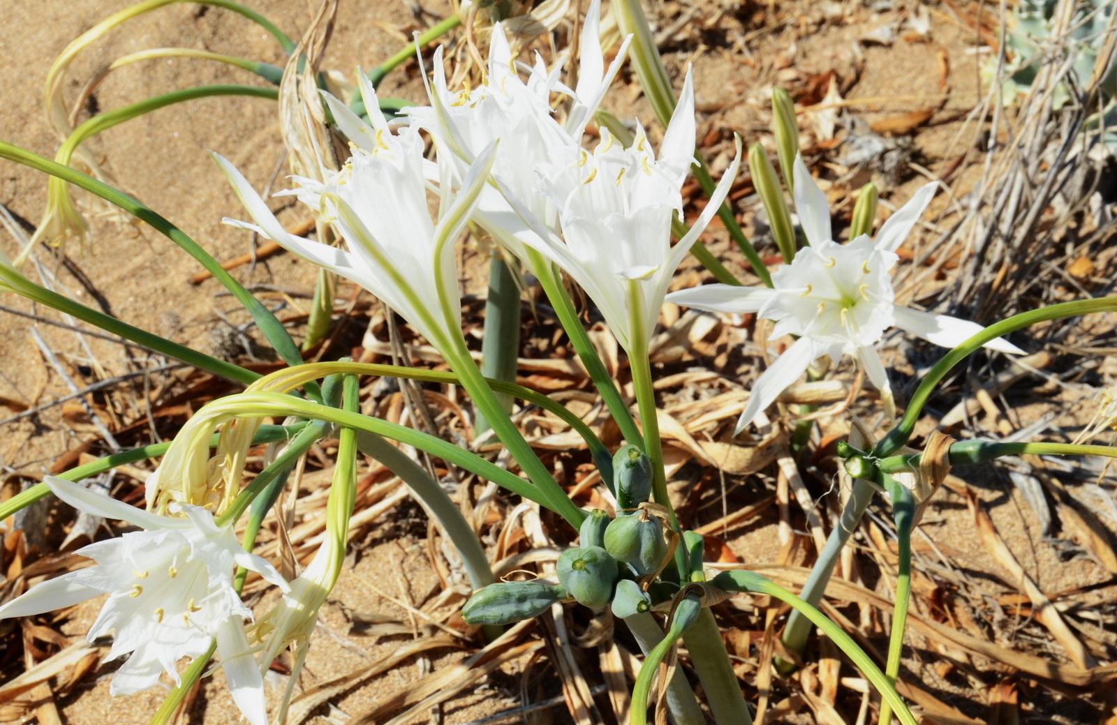 חבצלת החוף - פרחים והלקטי זרעים