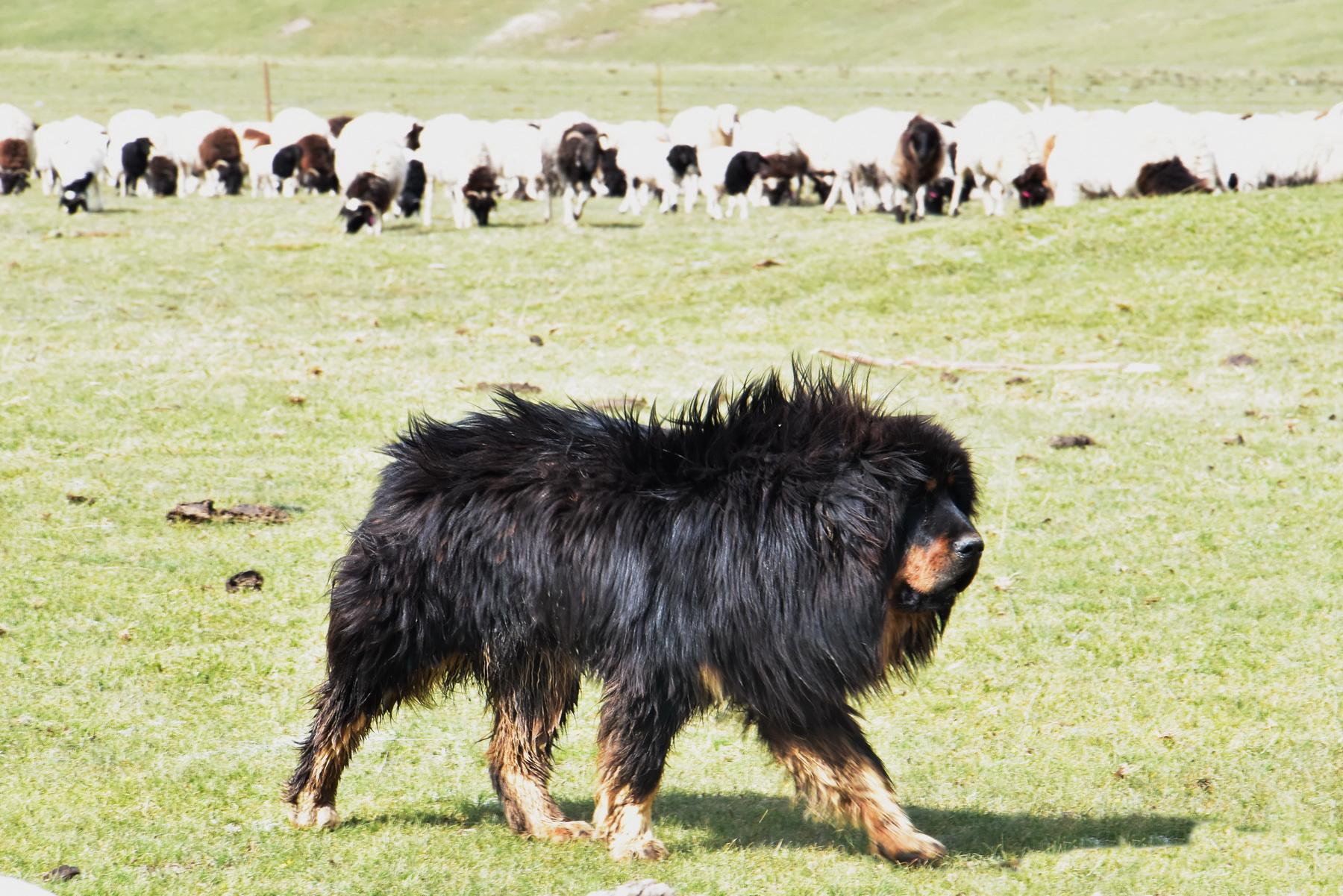 דרך המשי - עדר וכלב רועים